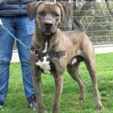 Oddo, Chien croisé / autre (cane corso/ dogue allemand) à adopter