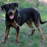 Tito, Chien croisé / autre (cane corso/ dogue allemand) à adopter