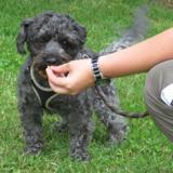 Corto, Chien croisé / autre (caniche nain/ yorkshire terrier) à adopter