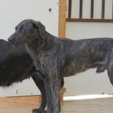 Coquin, Chien croisé / autre (chien corse) à adopter