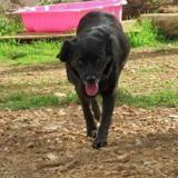 Bella , Chien croisé / autre (chien corse) à adopter