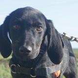 Bounty, Chiot croisé / autre (chien corse) à adopter