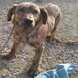 Paty, Chiot croisé / autre (chien corse) à adopter