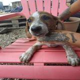 Tauros, Chiot croisé / autre (chien corse) à adopter