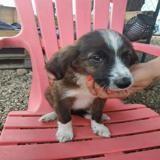 Voltali, Chiot croisé / autre (chien corse) à adopter