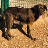 Nasca(réservé), Chien croisé / autre (chien corse) à adopter