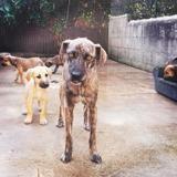 Camelia, Chien croisé / autre (chien corse) à adopter