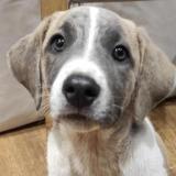 Salopette, Chiot croisé / autre (chien corse) à adopter
