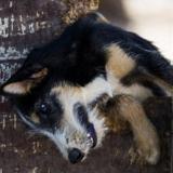 Poldi , Chiot croisé / autre (chien corse/ griffon) à adopter