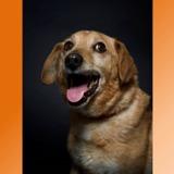 Luberon, Chien croisé / autre (chien courant) à adopter