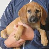 Zazie vaa 21030, Chiot croisé / autre (chien courant) à adopter