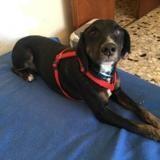 Conrad , Chien croisé / autre (chien courant) à adopter