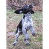 Otis vaa21281, Chiot croisé / autre (chien courant) à adopter