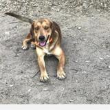 Pongo , Chien croisé / autre (chien courant) à adopter