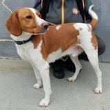 Ruby, Chien croisé / autre (chien courant) à adopter