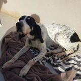 Betty, Chien croisé / autre (chien courant) à adopter