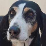 Chipie, Chien croisé / autre (chien courant) à adopter