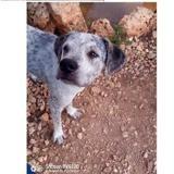 Ragnar, Chiot croisé / autre (chien courant/ dogue argentin) à adopter