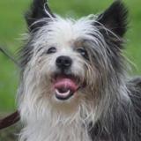 Jerry chao9874, Chien croisé / autre (chihuahua/ yorkshire terrier) à adopter