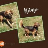 Nemo, Chien croisé / autre (cocker anglais (spaniel)) à adopter