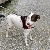 Jena, Chien croisé / autre (dalmatien) à adopter