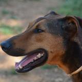 Kazy, Chien croisé / autre (dobermann) à adopter