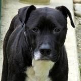 Kiser, Chien croisé / autre (dogue) à adopter