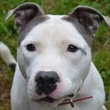 Mickey chao11267, Chien croisé / autre (dogue) à adopter