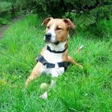 Loocky, Chien croisé / autre (dogue argentin) à adopter