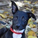 Kicklee chao9341, Chiot croisé / autre (dogue argentin) à adopter