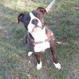 Pacha, Chiot croisé / autre (dogue argentin) à adopter