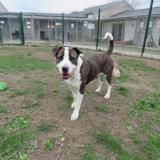 Julia, Chien croisé / autre (dogue argentin) à adopter