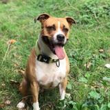 Taina, Chien croisé / autre (dogue argentin) à adopter