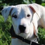 cooper haa22548, Chien croisé / autre (dogue argentin) à adopter