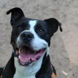 Luffy, Chien croisé / autre (dogue argentin) à adopter