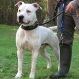 Doug, Chien croisé / autre (dogue argentin) à adopter