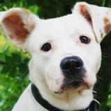 Tyson, Chien croisé / autre (dogue argentin) à adopter