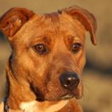 Wish, Chien croisé / autre (dogue argentin/ berger) à adopter