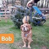 Bob, Chien croisé / autre (epagneul) à adopter