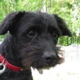 Kiosk, Chiot croisé / autre (fox terrier poil dur) à adopter