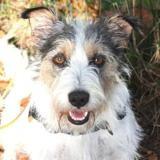 Galak, Chien croisé / autre (fox terrier poil dur) à adopter