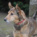 Dalton chao9550, Chien croisé / autre (fox terrier poil dur) à adopter