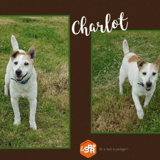 Charlot, Chien croisé / autre (fox terrier poil dur) à adopter