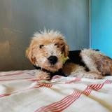 Biloute (adopté), Chien croisé / autre (fox terrier poil dur) à adopter