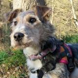 Fouzic, Chien croisé / autre (fox terrier poil dur) à adopter