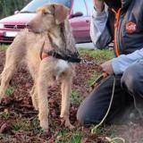 Tina, Chien croisé / autre (fox terrier poil dur) à adopter