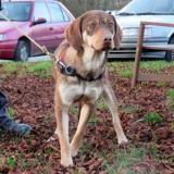Shana, Chien croisé / autre (fox terrier poil dur) à adopter