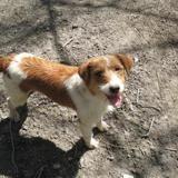 Mylena, Chien croisé / autre (fox terrier poil dur) à adopter
