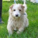 Harold, Chiot croisé / autre (fox terrier poil dur) à adopter