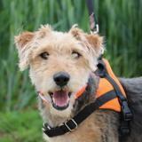 Celio haa22639, Chien croisé / autre (fox terrier poil dur) à adopter
